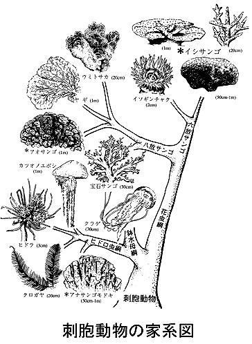刺胞動物の家系図
