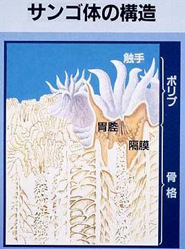 サンゴ体の構造